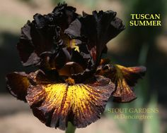"""TUSCAN SUMMER~~~(Keith Keppel 2010) tall bearded iris, 38"""" (97 cm), M.   Flowers: S. blackish port wine shaded red brown, slight light yellow ground showing in lower center; F. blackish port wine edge and striations, intense dandelion gold ground; beards mustard yellow.  Sdlg. 02-81A: Sib to Sorbonne."""