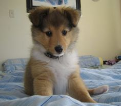 Sheltie Puppy at 9 Weeks. You can tell, he wants to say something. Baby doll. lol