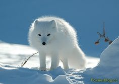 The arctic fox also called as white fox, snow fox or polar fox is small in stature with a species name Vulpes Lagopus. Animals Images, Animal Pictures, Cute Animals, Tier Wallpaper, Animal Wallpaper, Wildlife Wallpaper, Wolf Wallpaper, Arctic Animals, Arctic Fox