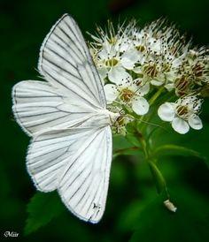 ♕ beautiful white butterfly