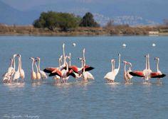 Kos, Beautiful Day, Flamingo, Greece, Salt, Birds, Twitter, Nature, Photography
