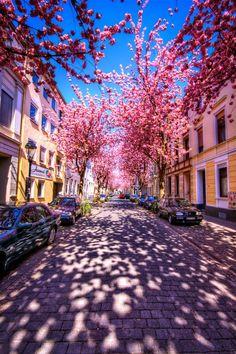 Cherry Blossoms, Bonn, Germany photo via stardust