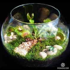 DIONAEAS.COM Хищные растения и их семена. Самый большой ассортимент хищных…