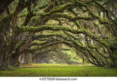 """""""Oaks Avenue Charleston SC plantation Live Oak trees forest landscape in ACE Basin South Carolina lowcountry"""" - Nature stock photos available on Fotosearch.com"""
