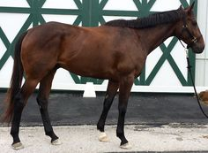 Does this gelding have what it takes to be a top event horse? This series will transform you into an expert at spotting Eventing talent at the racetrack http://eventingconnect.today/2016/07/10/assessing-whether-an-ottb-will-make-a-good-eventing-prospect-roaring-rebel/