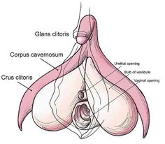 """Understanding the clitoris The scientific name """"little button"""" or """"bulb"""" of the clitoris is the glans ( glans clitoridis ). This small structure contains approximately 8 mil bundles of nerve fibers - more than any part of the human body and more than twice the amount found in the head of the penis. However, much of the clitoris is underground, and constituted from two corpora cavernosa, two crura  and the clitoral bulb .The glans is connected to the body or shaft of the internal clitoris"""