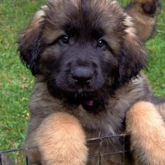 Leonbergers- I want seven right now okay thanks