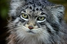 #Caturday ¶  How Pallas' Cat gets its name. ¶  Pallas's cat (Otocolobus manul), or generally the manul, was first named the Felis manul in…