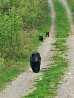 Research bear  June and her cubs on a logging road in Ely Minn.  June 8, 13