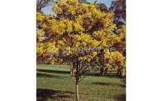 Acacia Baileyana, Vineyard, Outdoor, El Dorado, Topiary Trees, Plants, Outdoors, Outdoor Games
