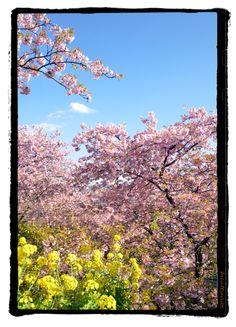 kawadu sakura japan.