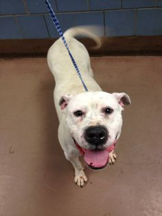 Shugg is a sweet and loving 4 year old, American Bulldog / mix who is looking for a forever home. She is smart and attentive, and she just wants to be loved. Please complete an application at www.secondhandsnoots.org or email adoption@secondhandsnoots.org for more information.
