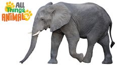 ELEPHANTS: Animals for children. Kids videos. Kindergarten | Preschool l...