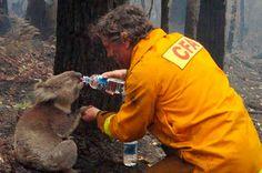 Um bombeiro dá água à um koala depois de um devastador incêndio florestal em Victória, Austrália, no ano de 2009