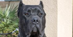 """10 Reasons why you should own a Presa Canario Socal Presa Canario http://socalpresa.com/10-reasons-why-you-should-own-a-presa-canario/ The Perro de Presa Canario , or simply Presa Canario is a special breed of dog that will quickly become a loving family member. In Spanish, the name translates to """"Canarian Catch Dog"""" and originates from the Canary Islands in Spain. Presa Canario's are generally perfect family members for families that have had large dogs already. Presa Canario's are not…"""