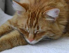 Saviez-vous qu'en général, un chat malade ne miaule pas et ne se plaint pas Certains changements dans le comportement de votre animal permettent de déceler un problème de santé et doivent vous alerter. Explications. par Audrey