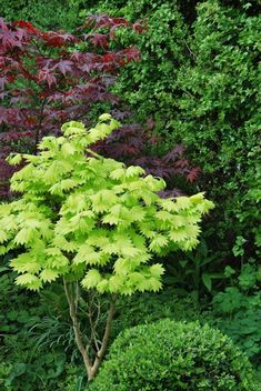 Beautiful picture and that green little tree in front of the Red Japanese maple, wow! It looks like Acer japonicum 'aureum' Garden Shrubs, Garden Trees, Garden Plants, Back Gardens, Small Gardens, Outdoor Gardens, Landscaping With Rocks, Outdoor Landscaping, Garden Edging Ideas Cheap