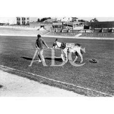 Madrid. 1925 (CA.). Un jardinero del Real Madrid, mantenía el césped del estadio Chamartín con un burro que alisaba el terreno.