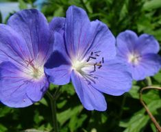 Geranium Brookside AGM: to 45cm, partial to full shade, flowers June to September