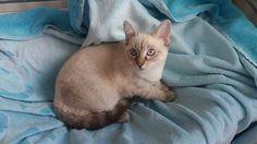 Roma: GATTINA SIMIL SIAMESE-THAI IN REGALO (HOLLY): #regalo #gattini #gatti #roma Vai all'annuncio: