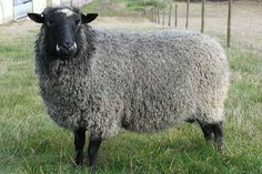 Gotland Sheep  The breed was first established on the Swedish island of Gotland by the Vikings with Karakul and Romanov sheep brought back from expeditions deep into Russia and crossed with the native landrace sheep.