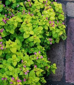 Lamium is an excellent, easy-care groundcover. Shade Perennials, Flowers Perennials, Perfect Plants, Cool Plants, Garden Yard Ideas, Lawn And Garden, Formal Gardens, Outdoor Gardens, Part Shade Flowers