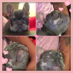 Very rare Lilac and Tan French Bulldog