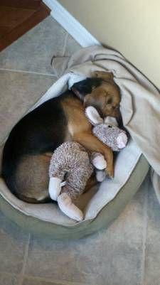 Big bad bunny hunter at bed time. #beagle