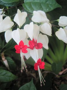 bleeding heart flowers( don't think these are bleeding hearts?? But pretty none the less... )