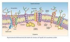 Membrana plasmática.