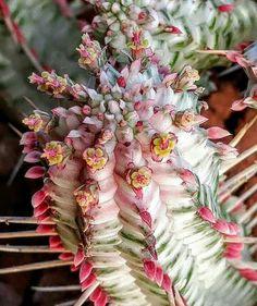 Euphorbia fimbriata veriegata.