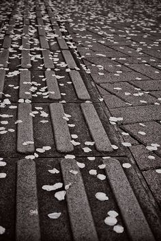 Streets of Tokyo in spring time with sakura petals