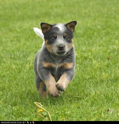 australian cattle dog or known as here a blue heeler