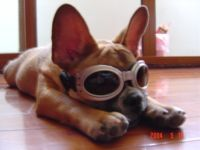 """What are they called when worn by dogs - """"doggles""""!  #dogs #pets #animals"""