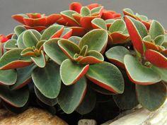 sukulenty - Eshop - Peperomia verticillata 'Red Log' (Mexiko)