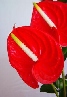 Flores de Anthurium andreanum rojas
