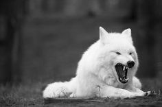 Yawning beauty. Be frightened of Wolves' teeth