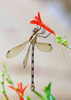 A female Great Spreadwing damselfly, Archilestes grandis (Odonata - Lestidae) clinging to the bloom of a Butterfly Bush. Photo credit: ©Ken Slade (CC BY-NC Dragonfly Photos, Dragonfly Art, Butterfly Photos, Beautiful Creatures, Animals Beautiful, Cute Animals, Flying Insects, Bugs And Insects, Beautiful Bugs