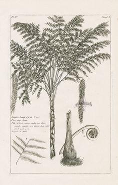 Filix arborea from P.J. Buchoz Herbier Artificiel Botanical Prints 1783
