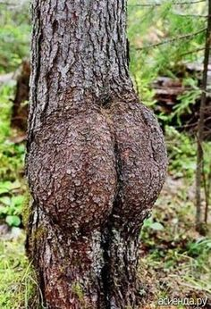 """Junk in the trunk."" Bahaha LMAO even nature shows its cracks and butt LOL Haha Funny, Hilarious, Funny Stuff, Funny Things, Odd Stuff, Creepy Stuff, Weird Trees, Strange Places, Just For Laughs"