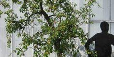 Reine Victoria oude pruimenboom