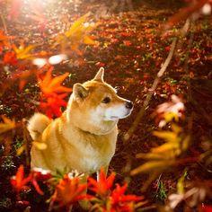 be aflame with autumn color✨✨ねぇねぇ、「紅葉見ナイト」って知ってる?今週のイキクルはまるが紹介する紅葉夜景スポットだよ〜*\(^o^)/* #urlはプロフィール欄にあるよ