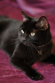 Beautiful–and black cats aren't bad luck!😊 Beautiful–and black cats aren't bad luck! Pretty Cats, Beautiful Cats, Animals Beautiful, Cute Animals, Baby Animals, Crazy Cat Lady, Crazy Cats, Kittens Cutest, Cats And Kittens