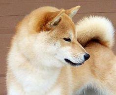 shiba inu ! so pretty. looks like a mini husky Mini Huskies f0f81b062