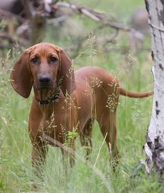 Breed: Redbone Coonhound    Origin Story: Colonial settlers from Scotland and Ireland brought red hounds with them to the United States, which became the ancestors of the Redbone.