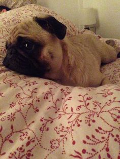 Best Cuby Chubby Adorable Dog - 23c93076d5e501de5af58d4e0b699184--the-pug-pigs  Perfect Image Reference_272640  .jpg