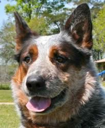 True Blue (neutered) is an adoptable Australian Cattle Dog (Blue Heeler) Dog in Chipley, FL. True Blue is a 3 to 4 year old neutered male blue heeler, unusually large at about 60 pounds - yes, he coul...