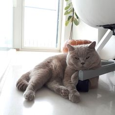 Happy Friday pawsies!I'm slacking around and wondering where did I leave my mouse! From: @morrisonharrison #BritishShorthair