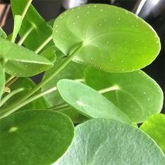 Planteværkstedet: Guide til Pilea Peperomioides Plant Leaves, Planters, Planter Boxes, Plants, Flower Pots, Pot Holders, Pots, Container Plants