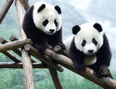 the giant panda has a lifespan of 20 years, height of 2-3 feet. They live in the mountainous ranges of central China. Wet bamboo meets the pandas most needs. These pandas have black patches around the eyes, ears, and across the body.